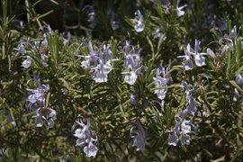 Rosmarinus officinalis. Rozemarijn. Rosemary