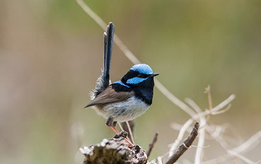 A male superb fairy-wren showing off his bright blue-and-black ornamental plumage