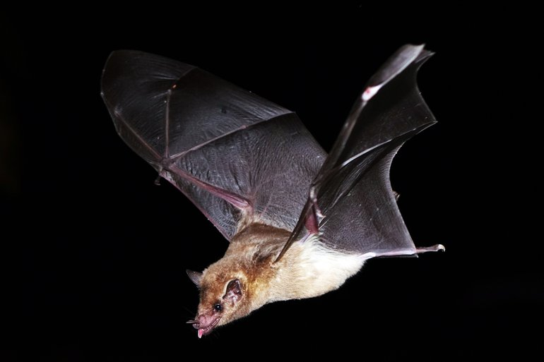 Southern long-nosed bat (Leptonycteris curasoae)