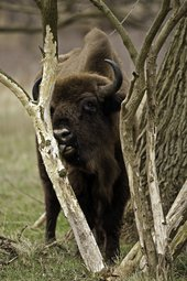 European bison eating spindle