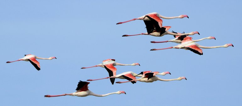 Flamingo's in de vlucht