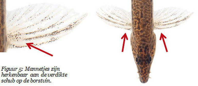 Mannetjes kleine modderkruiper zijn te herkennen aan een schub die bovenop de borstvin ligt. Hybriden zijn altijd vrouwelijk en hebben deze schub dus nooit