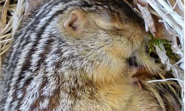 A sleeping 13-lined ground squirrel