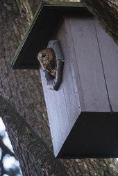 Bosuil kijkt op 26 februari uit de nestkast van Ronald Beskers