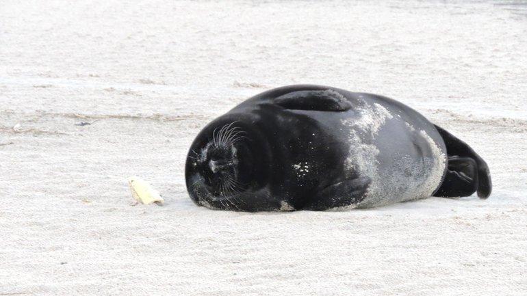 Ameland black seal, photo by Bert Meerstra