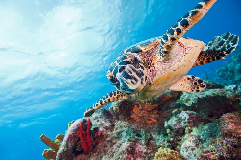 Curaçao's stunning coral reefs with abundant colorful marine life such as Hawksbill turtles (Eretmochelys imbricata)