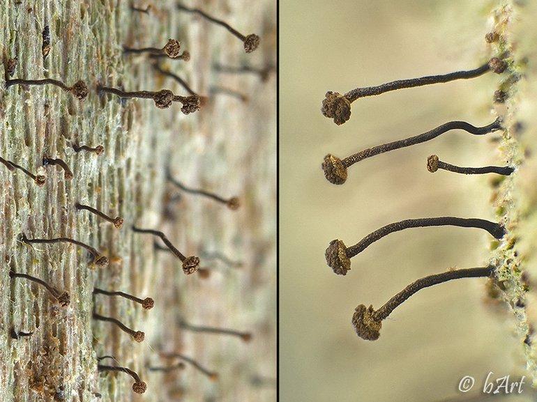 Chaenotheca biesboschii (photo: Bart Horvers)