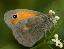 Coenonympha pamphilus. Hooibeestje