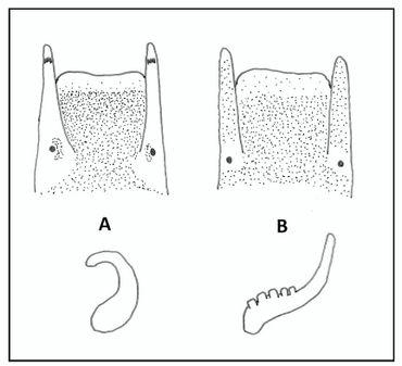 Schetsen van de kop (boven) en de penis (onder) van de beide dieren. A: Wadslakje (Peringia ulvae), B: Heleobia-soort uit Noordzeekanaal