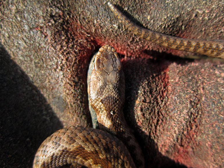 Photo of headscales of the Adder sighted in De Meinweg on 28th December 2015