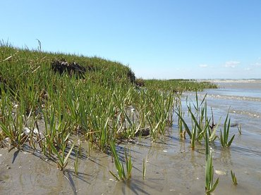 A 'healthy' salt marsh recovers quickly after a small disturbance. A salt marsh is resilient when the eroding edge stabilizes and new cordgrass (Spartina anglica) settles at the sea side