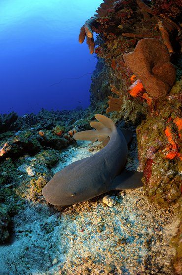 Nurse shark on the Saba Bank, part of the Yarari Marine Mammal and Shark Sanctuary