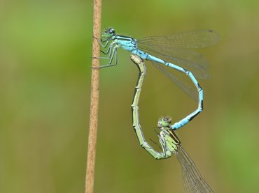 All populations of the Northern Damselfy Coenagrion hastulatum in the Netherlands are being monitored