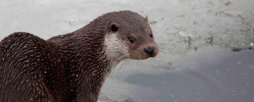 #Otterpopulatie blijft groeien