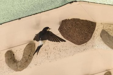 Huiszwaluwnest in huiszwaluwtil