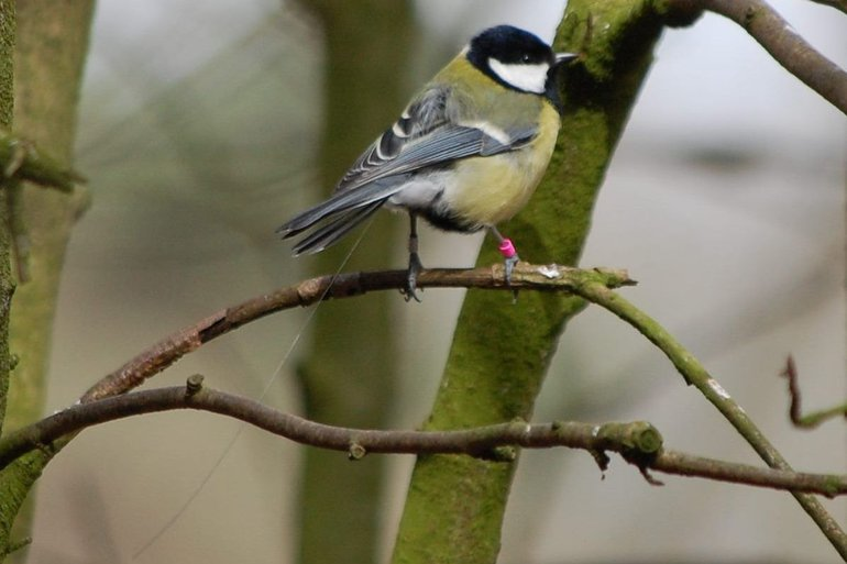 A female great tit with a small transmitter on her back