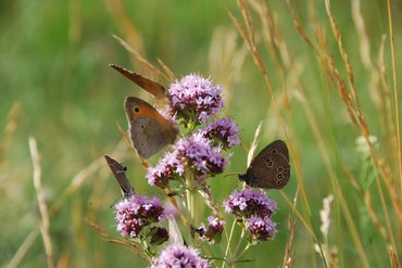 Meadow brown,rRinglet and hairstreak species rarely occur in large densities
