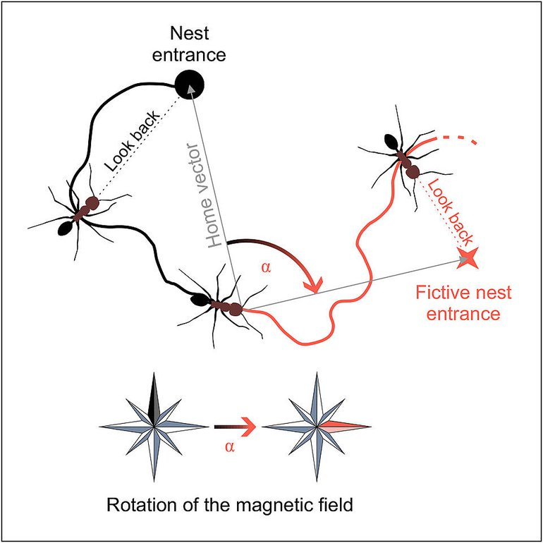 Looking for the nest entrance, Desert ants use the geomagnetic field for orientation (black). This can be concluded from experiments, in which the geomagnetic field was artificially rotated (red).