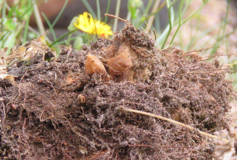 Poppen in een grondnest van de eikenprocessierups