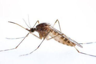 The mosquito Culiseta annulata looks a bit like the tiger mosquito but is considerably larger and is rather beige and grey striped