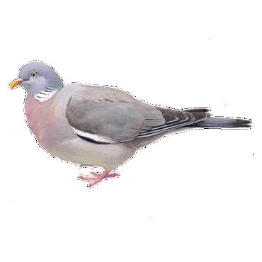 Houtduif   Vogelbescherming