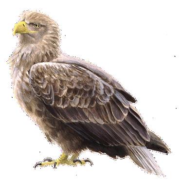 zeearend vogelbescherming