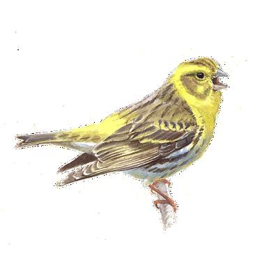 Wonderbaar Europese kanarie | Vogelbescherming MW-62