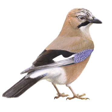 Skjaere further 309756 in addition File Maisie Williams 2 SDCC 2014  cropped besides Siberian Jay Perisoreus Infaustus photo 75485 additionally Article. on corvidae