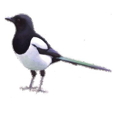 ekster vogelbescherming nl