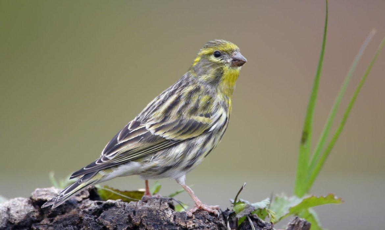 Wonderbaar Europese kanarie | Vogelbescherming BW-02