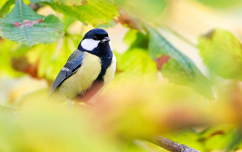 Goede Tuinvogels herkennen   Vogelbescherming OZ-47