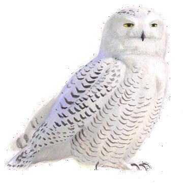 sneeuwuil vogelbescherming