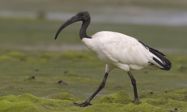 Heilige ibis / Agami