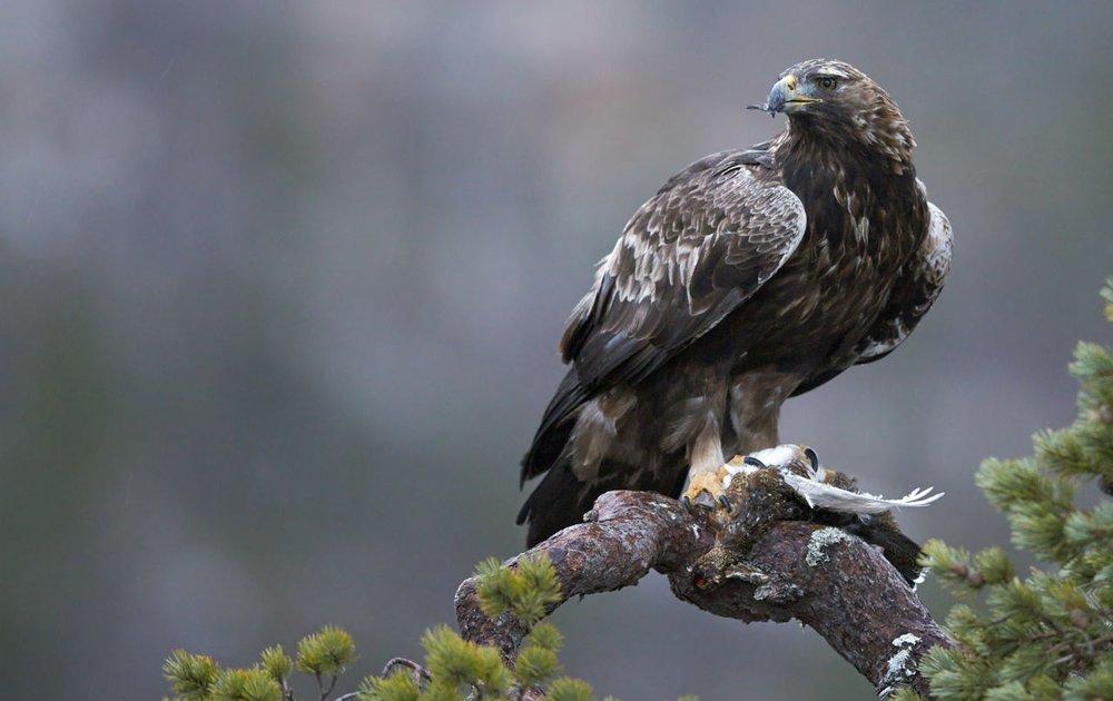 steenarend vogelbescherming