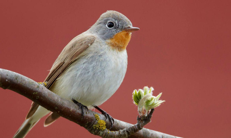 Kleine vliegenvanger / Agami