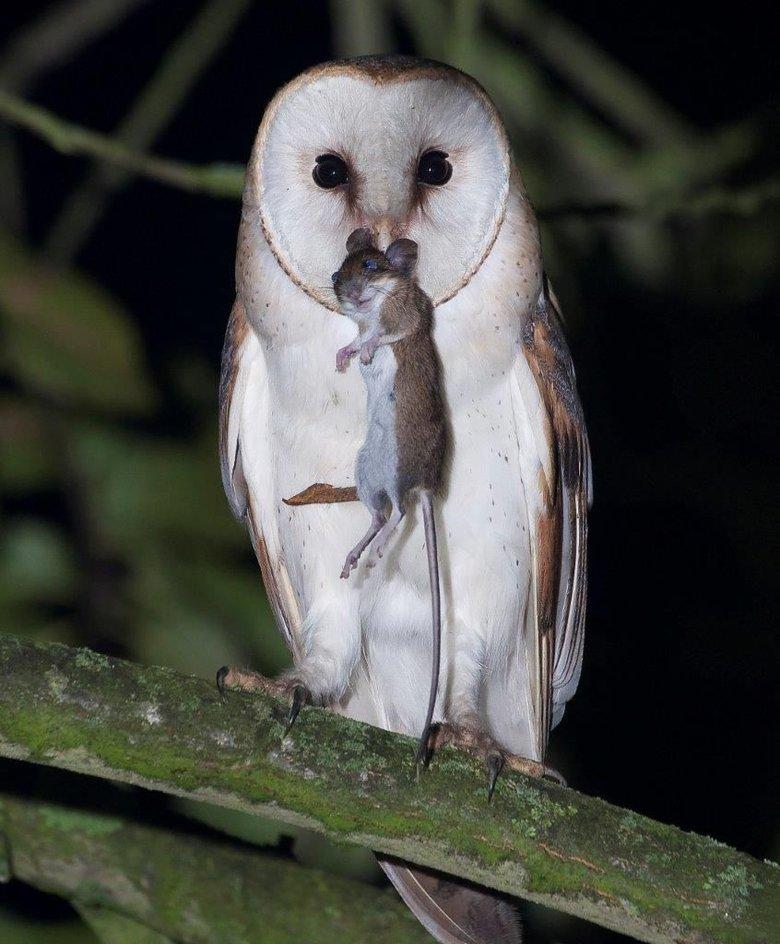 Afbeeldingsresultaat voor bosuil muis