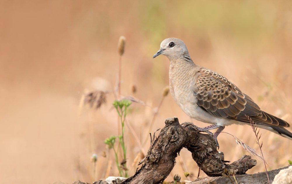(c) Vogelbescherming.nl