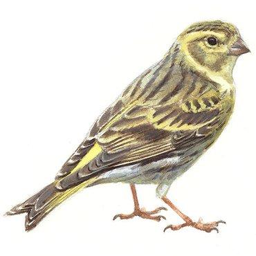 Spiksplinternieuw Europese kanarie | Vogelbescherming TB-49