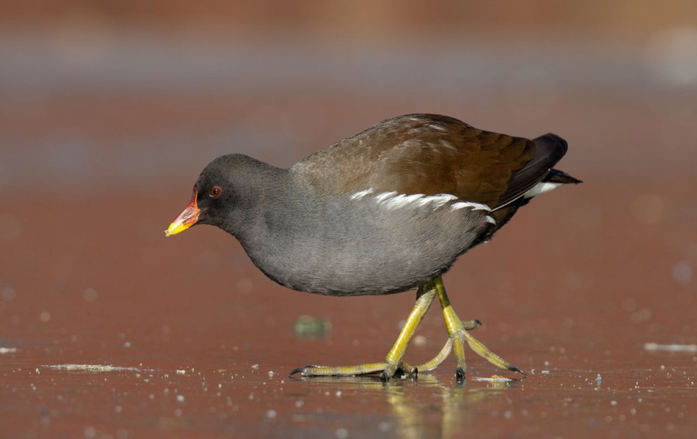 Kleurplaten Watervogels.Waterhoen Vogelbescherming
