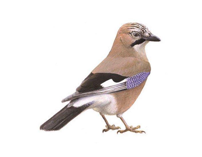 Vogels Nederland Tuin : Nationale tuinvogeltelling tuinvogels