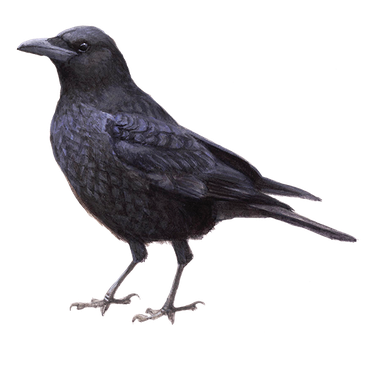 zwarte kraai vogelbescherming nl
