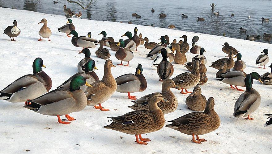 Kleurplaten Watervogels.Hoe Vogels De Vorst Trotseren Vogelbescherming