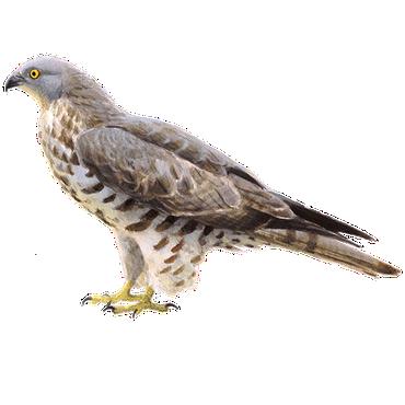 wespendief vogelbescherming nl