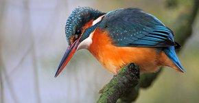 Kleurplaten Watervogels.Watervogels Starrevaartplas Leidschendam Vogelbescherming