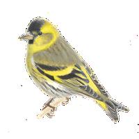 Verwonderlijk Europese kanarie | Vogelbescherming ME-96