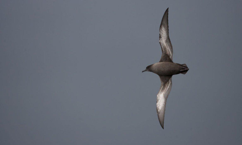 Grauwe pijlstormvogel / Agami