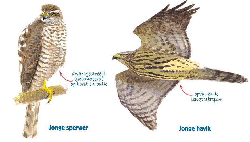 havik vs sperwer vogelbescherming