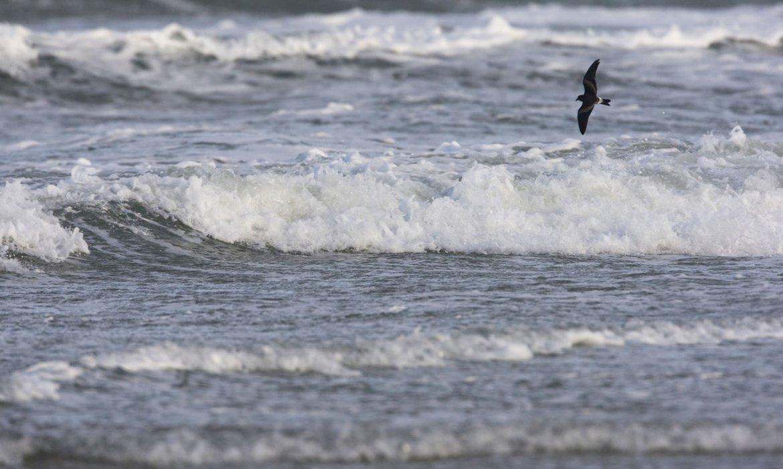 Vaal stormvogeltje / Agami