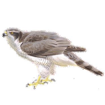 havik vogelbescherming