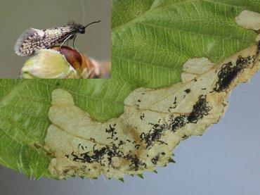 Vraatbeeld (mijn) van Paracrania chrysolepidella en de vlinder